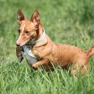 podenco maneto