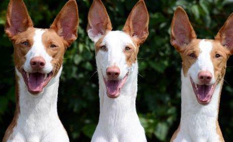 podencos raza de perros